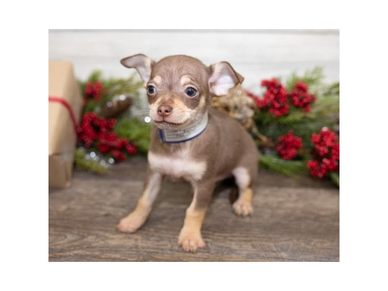 Chihuahua-Male-Chocolate / Tan-2551337-Petland Topeka