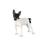 Petland Topeka Toy Fox Terrier