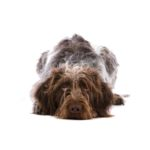 Petland Topeka German Wirehaired Pointer
