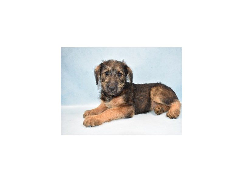 Airedale Terrier-Female-Black and Tan-2511023-Petland Topeka