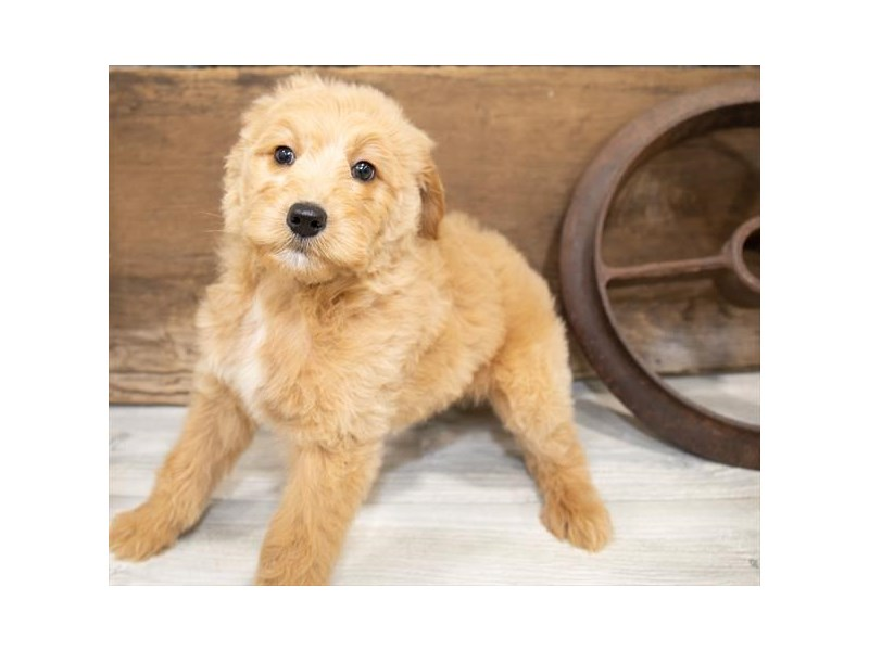 Goldendoodle-Female-Golden-2540740-Petland Topeka