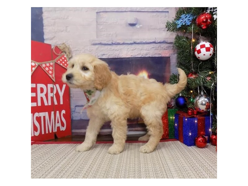 Goldendoodle-Male-Golden-2561683-Petland Topeka
